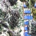 Ekonomista iz Srbije uzgaja crne vojničke muve u Kini – rešenje za organski otpad i dodatak u ishrani životinja